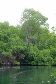 mangrove-4